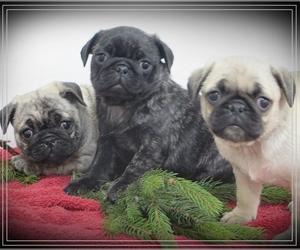 Pug Litter for sale in BULLTOWN, PA, USA