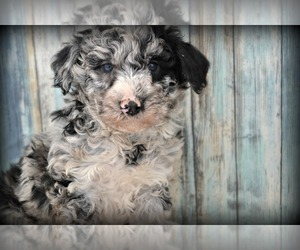 F2 Aussiedoodle Litter for sale in NILES, MI, USA