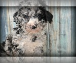 Small F2 Aussiedoodle