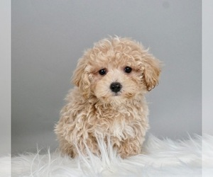 Maltipoo-Poodle (Toy) Mix Litter for sale in WARSAW, IN, USA