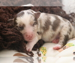 Small Photo #1 Australian Shepherd Puppy For Sale in STAFFORD, VA, USA