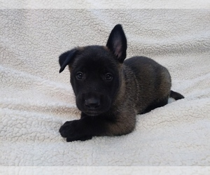 Belgian Malinois Litter for sale in CORNING, CA, USA