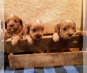 Cavapoo Litter for sale in EPHRATA, PA, USA