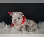 French Bulldog Puppy For Sale in PORT READING, NJ, USA