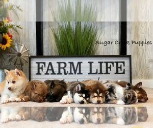Pomsky Litter for sale in DONNELLSON, IA, USA