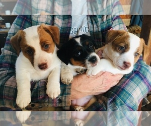 Jack Russell Terrier Litter for sale in HARTLY, DE, USA