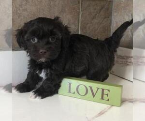 Havanese Litter for sale in BUFORD, GA, USA