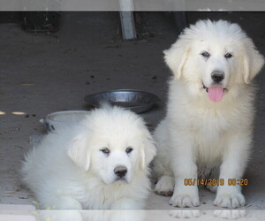 Great Pyrenees Litter for sale in PAHRUMP, NV, USA