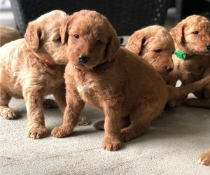Labradoodle Litter for sale in KENLY, NC, USA