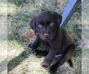Puppies for Sale near Saratoga Springs, New York, USA, Page