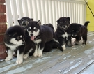 Alaskan Malamute Puppy For Sale in SAINT JOSEPH, MO, USA