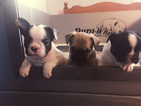 French Bulldog Puppy For Sale in FOLSOM, LA, USA