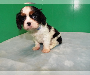 Cavalier King Charles Spaniel Litter for sale in PATERSON, NJ, USA