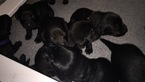 Labrador Retriever Puppy For Sale in WAUNAKEE, WI, USA