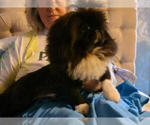 Pekingese Litter for sale in SMITHFIELD, NC, USA