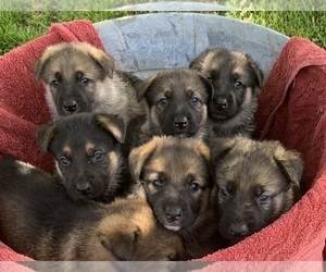 German Shepherd Dog Litter for sale in CREAL SPRINGS, IL, USA