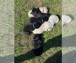 Labrador Retriever Litter for sale in MACOMB, MO, USA