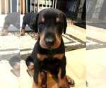 Small Doberman Pinscher