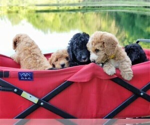 Goldendoodle-Poodle (Miniature) Mix Litter for sale in DUNDEE, OH, USA
