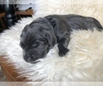 Labrador Retriever Puppy For Sale in PAYETTE, ID, USA