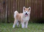 Akita Puppy For Sale in COCONUT CREEK, FL, USA