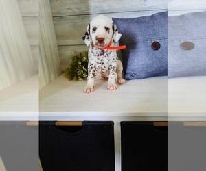 Dalmatian Litter for sale in SHIPSHEWANA, IN, USA