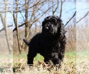 Golden Retriever-Goldendoodle Mix Litter for sale in WARSAW, IN, USA