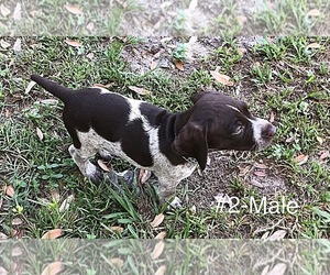 German Shorthaired Pointer Litter for sale in ALACHUA, FL, USA
