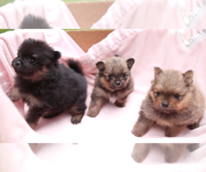 Pomeranian Litter for sale in EVERETT, WA, USA