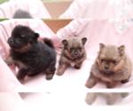 Pomeranian Puppy For Sale in EVERETT, WA, USA
