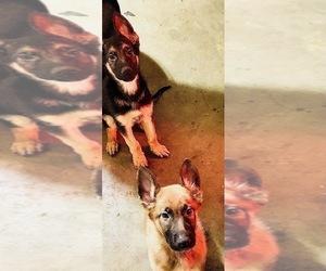 German Shepherd Dog Litter for sale in CLOVIS, CA, USA