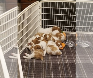 Brittany Litter for sale in TONOPAH, NV, USA
