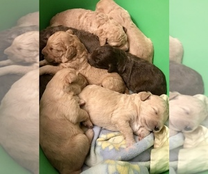 Goldendoodle (Miniature) Litter for sale in VANCOUVER, WA, USA