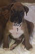 Boxer Puppy For Sale in HORSE CAVE, KY, USA