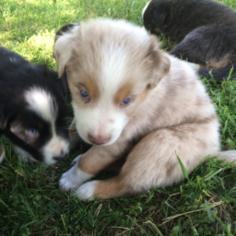 Australian Shepherd Litter for sale in RIVESVILLE, WV, USA