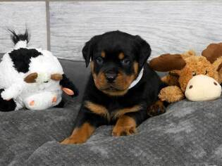 Rottweiler Litter for sale in OGDEN, UT, USA