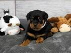Rottweiler Puppy For Sale in OGDEN, UT, USA
