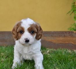 View Ad Cavapoo Litter Of Puppies For Sale Near Arizona Phoenix