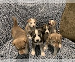 Siberian Husky Puppy For Sale in SUGAR HILL, GA, USA