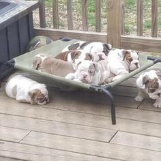 Bulldog Litter for sale in LOUISVILLE, KY, USA