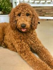 Australian Labradoodle Litter for sale in CUMMING, GA, USA