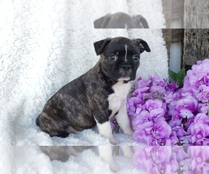 Boston Terrier Litter for sale in SUGARCREEK, OH, USA
