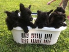 Scottish Terrier Puppy For Sale in URBANA, OH, USA