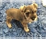 Schnauzer (Miniature) Puppy For Sale in VALRICO, FL, USA