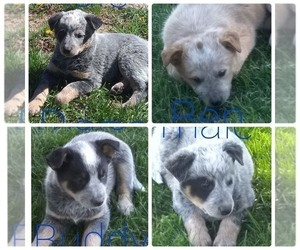 Australian Cattle Dog Litter for sale in AUGSBURG, IL, USA