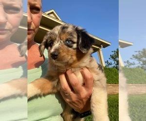 Australian Shepherd Litter for sale in HARLETON, TX, USA