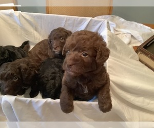 Labradoodle Litter for sale in MBORO, TN, USA