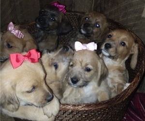 Jack-A-Poo Litter for sale in ORRVILLE, OH, USA