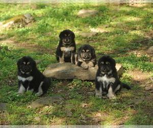 Medium Tibetan Mastiff
