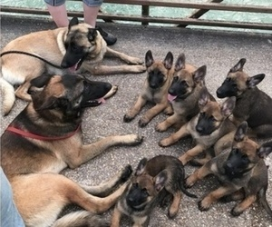 Belgian Malinois Litter for sale in WEST PLAINS, MO, USA